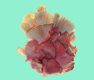pink-mushroom-header